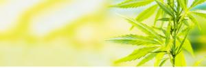 Le cannabidiol, plus communément appelé CBD, est un composé présent dans la plante de chanvre (Cannabis sativa)